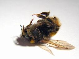 تاثیر سوء امواج تلفن همراه بر زنبورعسل