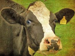 RFID و گاوهای شیرده